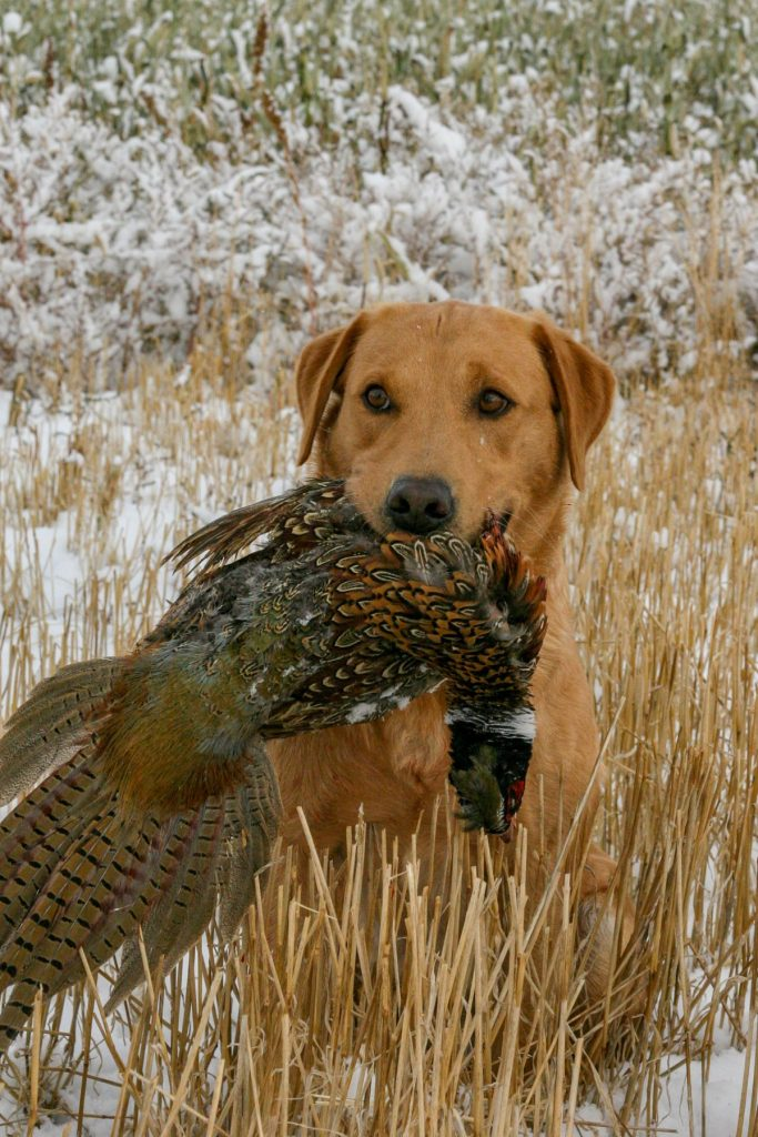 A British lab from Double TT retrieving a pheasant in the field