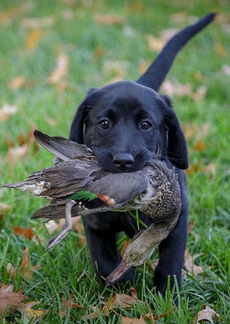 Black lab puppy fetching a duck