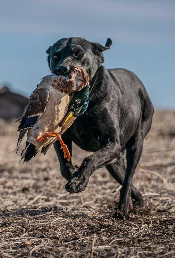 british-lab-retreiving-duck
