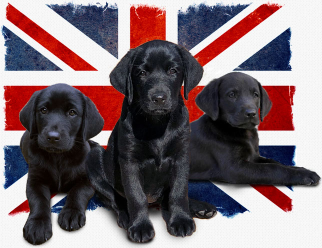 Three black labrador puppies in front of British flag
